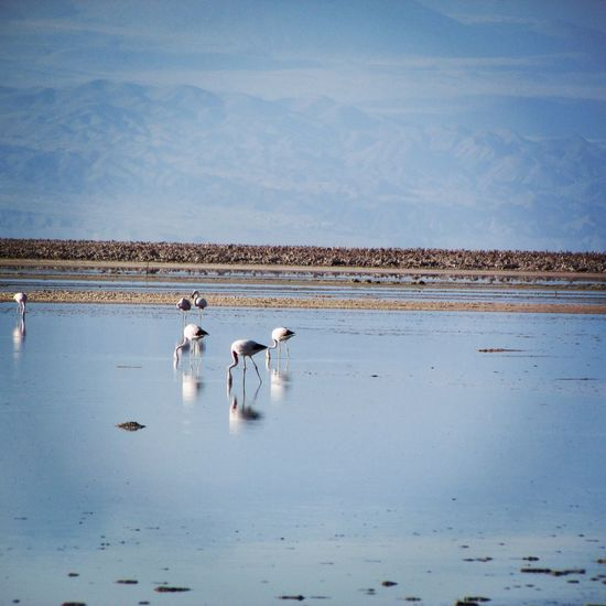 Flamencos! Flamencos Animals In The Wild Animal Wildlife Flamingo Lake Water Reflection Animal Themes Day Outdoors Blue Nature No People Beauty In Nature Salt - Mineral Vacations Chile♥ Beauty In Nature Atacama Desert Mountain Landscape