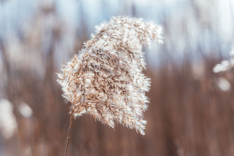 Dry beige reed natural background. beautiful trendy decor in scandinavian minimalist style