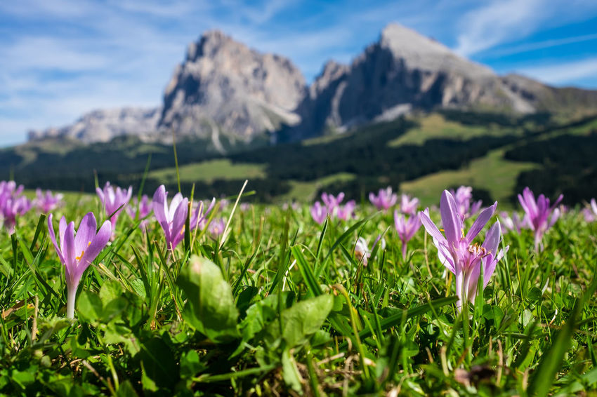 Mountain Meadow Beauty In Nature Close-up Crocus Day Field Flower Flower Head Flowering Plant Fragility Freshness Growth Iris Land Mountain Nature No People Outdoors Petal Plant Purple Scenics - Nature Sky Tranquil Scene Tranquility Vulnerability