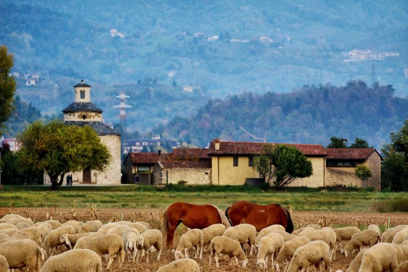Agro di Almenno Almenno San Bartolomeo Bergamo Lombardia Italy Sheep Livestock Agriculture Domestic Animals Farm Animal Themes Field Mammal Large Group Of Animals Flock Of Sheep Mountain Grazing Pasture Cow Outdoors Rural Scene Tree No People Day Nature