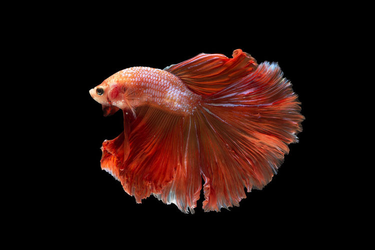 Side view of siamese fighting fish against black background