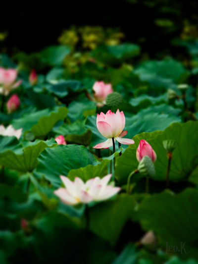 Lotus Lotus