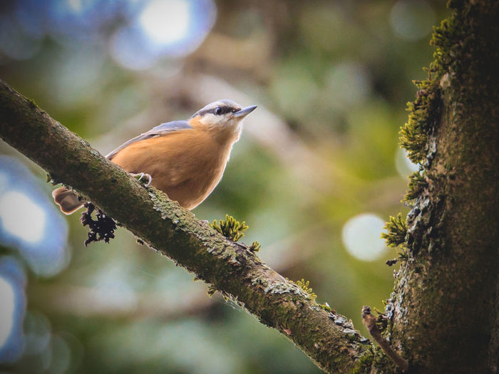 Eurasian nuthatch Eurasian Nuthatch Sitta Europaea Animal Themes Animal Wildlife Animals In The Wild Beauty In Nature Bird Branch Close-up Day Focus On Foreground Nature No People Nuthatch One Animal Outdoors Perching Tree Wood Nuthatch