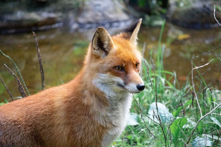 #fox #wildanimal