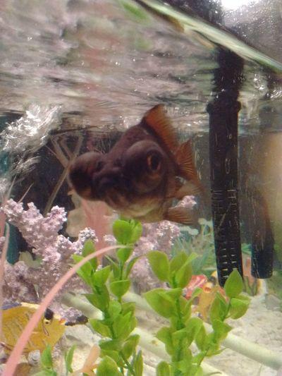 Random :) Taking Photos Fish Goldfish Big Eyes Underwater Pets Aquarium Life