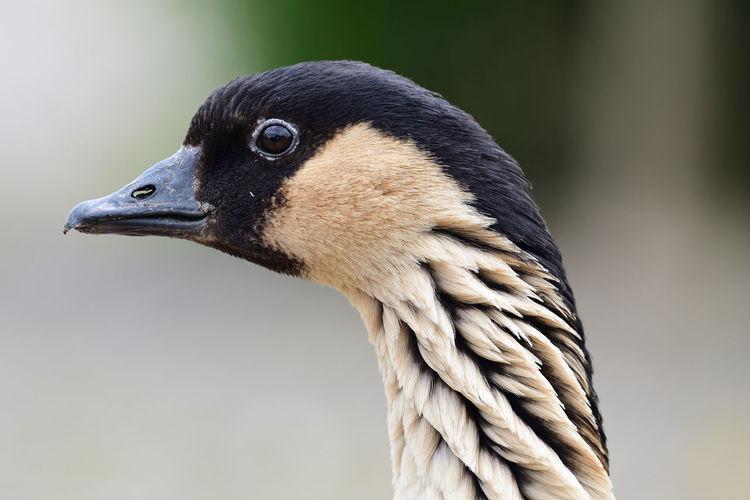 Head shot of a hawaiian goose