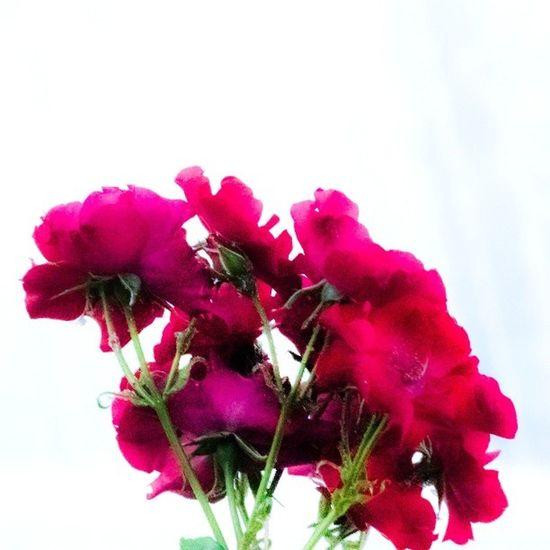 Pink Roses Yildiz Sale istanbul turkey nature pempe gul