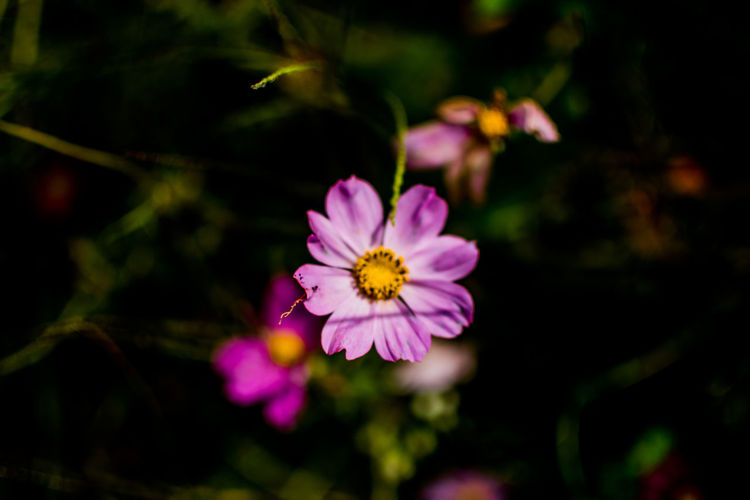 Flower Flowering Plant Vulnerability  Fragility Plant Beauty In Nature Freshness Petal Growth Close-up Inflorescence Pink Color Flower Head Nature No People Outdoors Yellow Pollen Day Focus On Foreground