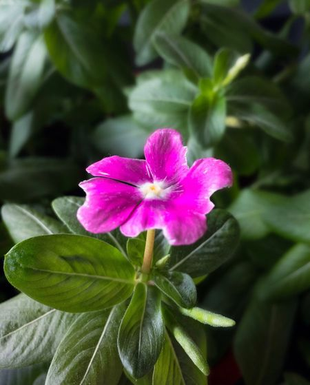 Flower Fragility Growth Nature Petal Freshness Beauty In Nature Plant Leaf Flower Head Blooming Pink Color Close-up No People Outdoors Day Periwinkle