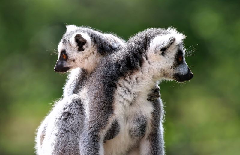 Lemurs looking away against blurred background