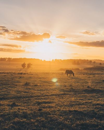 Horse grazing on grass against sky during sunset