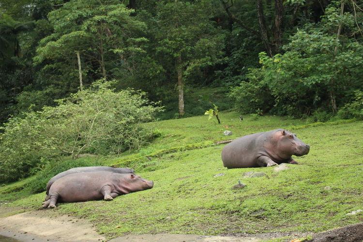 Hippopotamus in