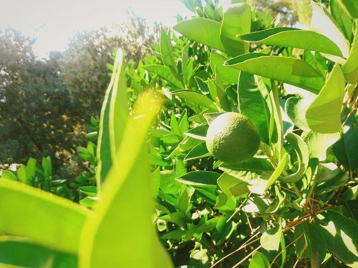 Tree Leaf Fruit Rural Scene Agriculture Close-up Plant Sky Green Color Lemon Tree Lemon