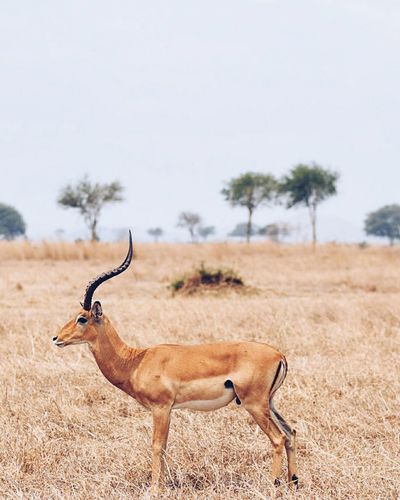 Side View Of Impala Standing On Grassy Field Against Sky