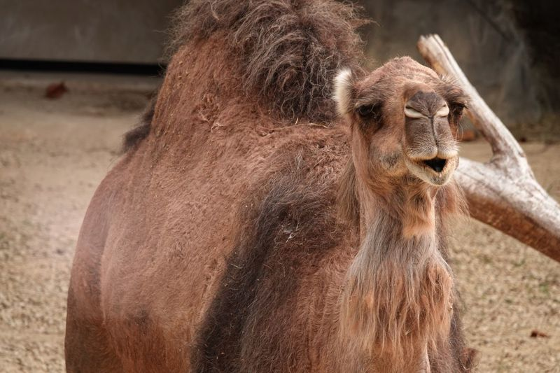 Dromedary Arabian Camel Camelus Dromedarius EyeEm Selects Animal Animal Wildlife Animal Themes Mammal Animals In The Wild Focus On Foreground Animals In Captivity One Animal Portrait Close-up Brown Sunlight Zoo No People Nature Outdoors