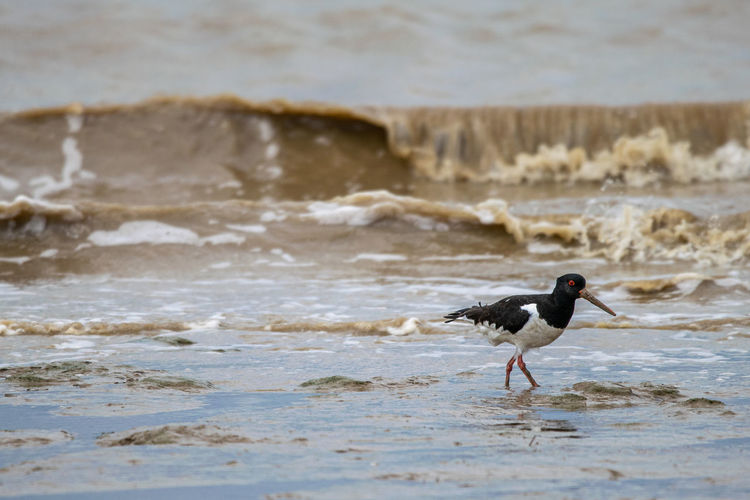 Common pied oystercatcher, haematopus ostralegus, at low tide in the dengie mud flats, essex, uk