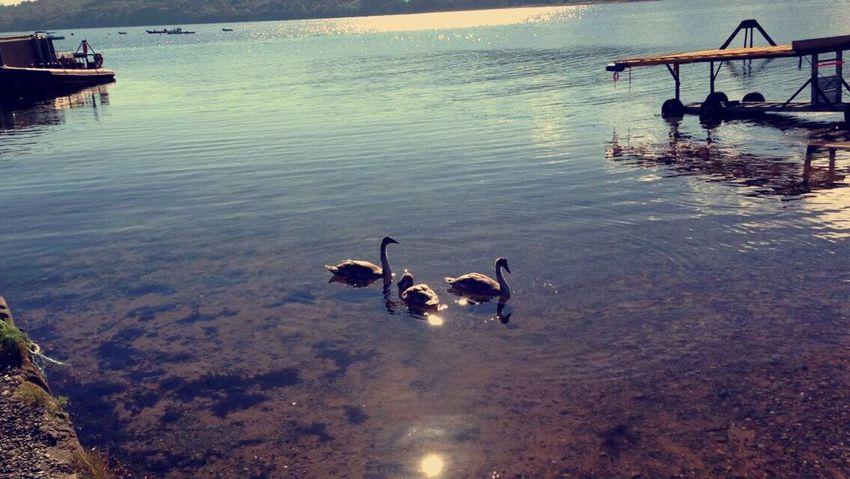 Swans Water Birthdaypost The Great Outdoors - 2017 EyeEm Awards