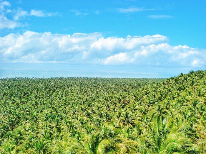 Palm Tree Forest 🏝🇧🇷 Brazil Brasil Palm Tree Palm Forest Nature Tropical Tropical Paradise Tree Sunny Sun Nordeste  Beach Tea Crop Rural Scene Cereal Plant Agriculture Field Crop  Sky Cloud - Sky Green Color Landscape