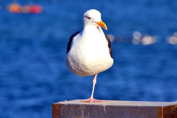 Bird Animal Vertebrate Animal Themes Animal Wildlife Animals In The Wild Focus On Foreground One Animal No People Perching Water Day Nature Seagull Close-up Beak Outdoors Sea Bird Sea Wooden Post Seabird Nature_collection Birds Of EyeEm  Ocean Photography America Beauty In Nature
