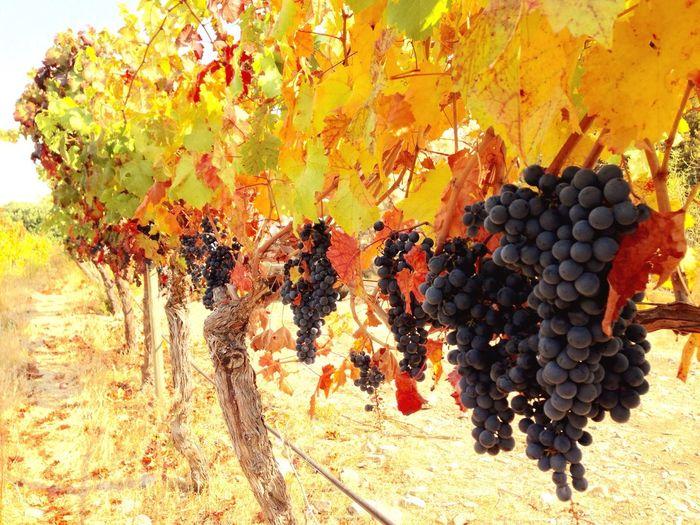 Autumn Vintage - Colchagua Valley Wine Grapes Red Wine Vineyard Colors Autumn Autumn Colors Vivid Colours  Colors Of Autumn Vineyards