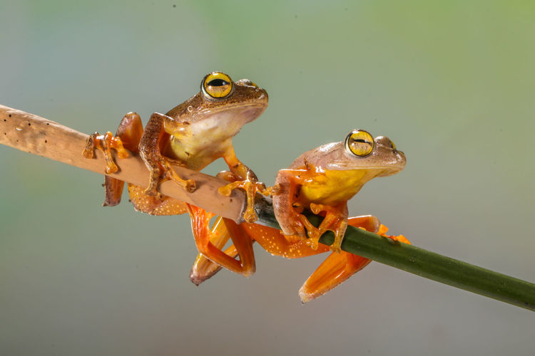 Two golden tree frog in branch
