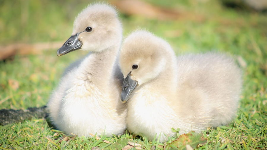 Close up image of a pair of soft cute Black Swan Cygnets taken at Waimanu Lagoons, Waikanae on the Kapiti Coast of New Zealand. Siblings Soft Animal Family Animal Themes Animal Wildlife Animals In The Wild Bird Close-up Cute Cygnet Day Focus On Foreground Gosling Grass Nature No People Outdoors Softness Swan Two Two Animals Young Animal Young Bird