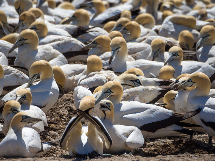 Group Of Cape Gannet Birds At Breeding Colony On Bird Island, Lambert's Bay, South Africa