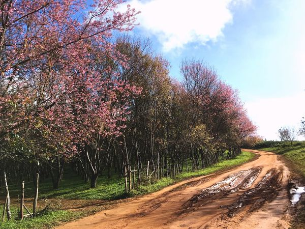 Tree Growth Nature Beauty In Nature Blossom Flower Day No People Road Outdoors Springtime Tranquility Scenics Sky Freshness Pink Color Pink Flower Pink Flower 🌸