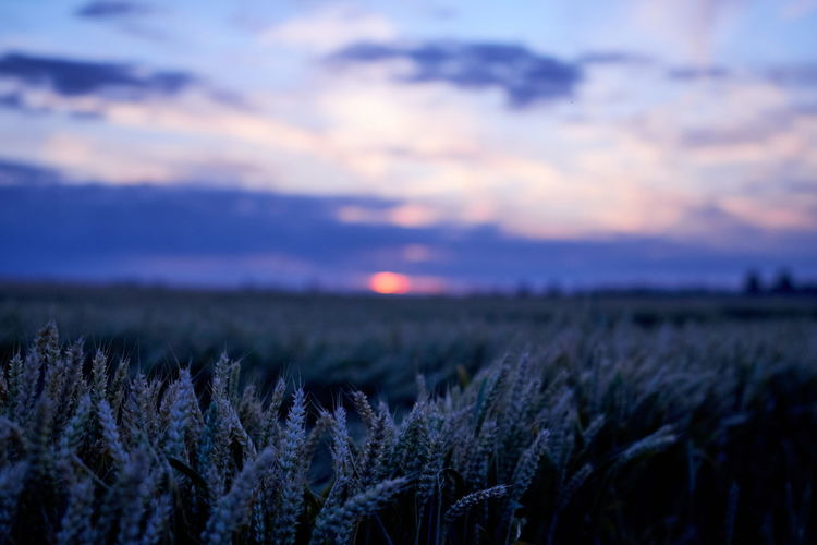 Agriculture Beauty In Nature Cloud - Sky Cold Temperature Environment Field Growth Land Landscape Nature No People Non-urban Scene Plant Purple Rural Scene Scenics - Nature Sky Sunset Tranquil Scene Tranquility Winter