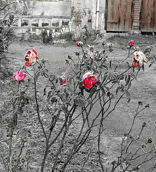 Flower Outdoors No People Nature Nature Beauty In Nature Flower Head Plant Photography Flowers,Plants & Garden Plant Frosty Days Frosty Nature Frosty Day Frosty Mornings Frosted Nature Frosty Morning Frosty Flower Frosting Rose Roses Rose - Flower Rose♥ Rose🌹 Roses🌹 Roses Flowers  Rose Collection