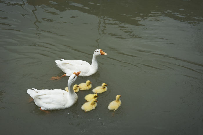 Two white geese and group of young goslings swimming in the pond Pond Animal Animal Themes Animal Wildlife Beauty In Nature Geeen Gosling Group Of Animals High Angle View Lake Nature No People Swimming Vertebrate White White Color Young Animal