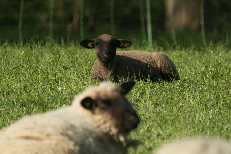 Side view of sheep at field