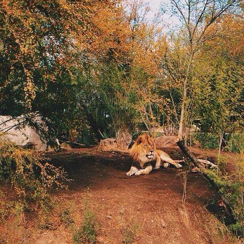 Vscocam VSCO Vscoexpo Vscocollections arizona zoo phoenix instagramaz lion phxzoo cat