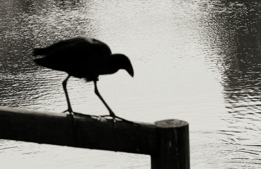 Silhouette Water Hen By The Waters. Nature On Your Doorstep EyeEm Nature Lover Landscape_photography Water_collection Bird Photography Birds Black And White Collection  EyeEm Best Shots EyeEm Birds Eye4photography
