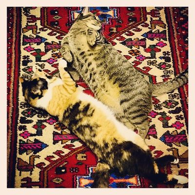 Preparadas para el achuchón! Recienllegadoacasa Catswaiting Itzi LEGO igerscats xperiaZ1 tobago catsofinstagram catsoftobago