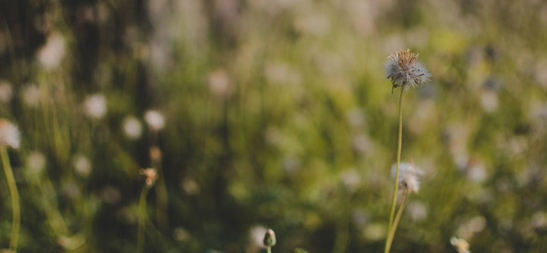 Plant Flowering Plant Flower Focus On Foreground Growth Beauty In Nature Freshness Nature Fragility Vulnerability  Close-up Plant Stem Dandelion Day Tranquility Land Field Outdoors No People Inflorescence