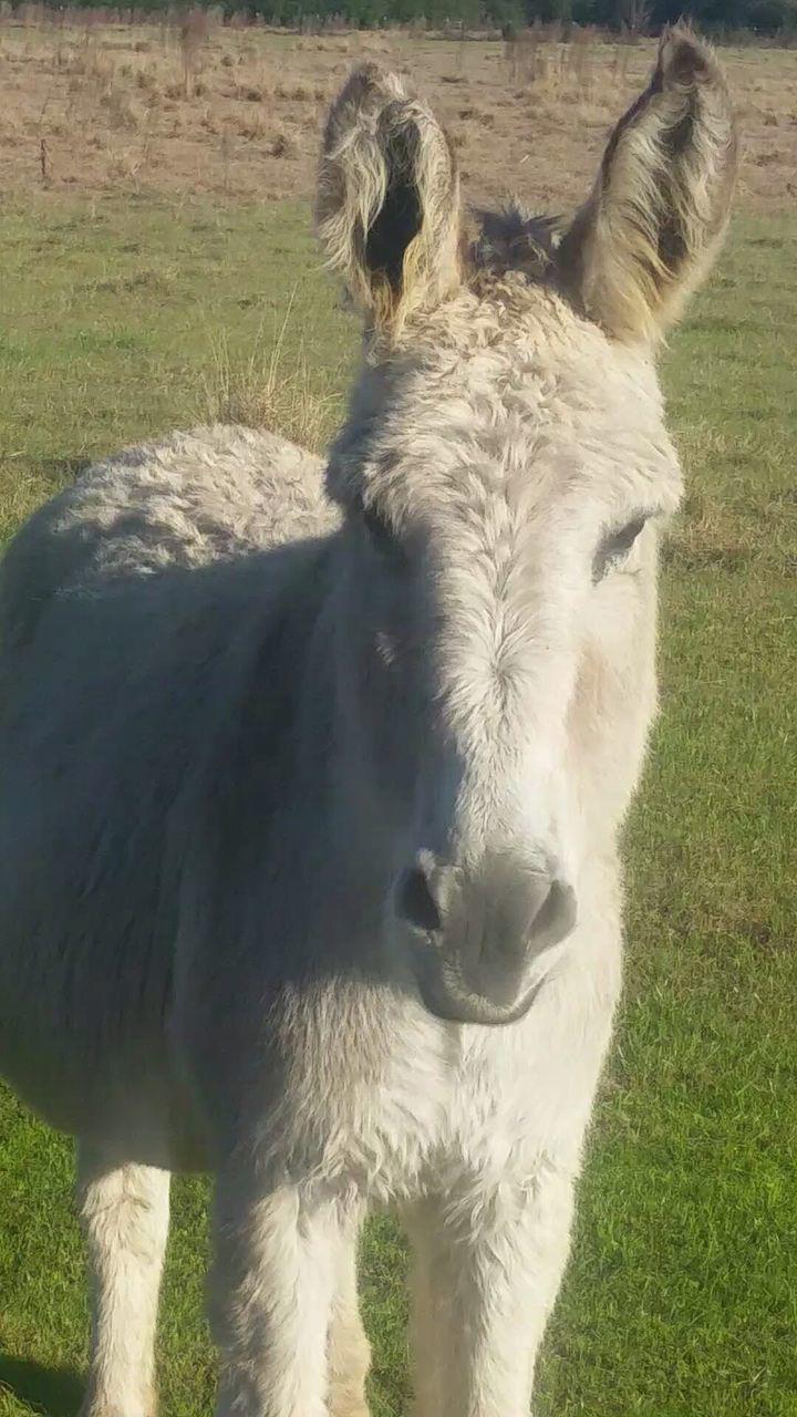 Close-Up Of Donkey On Grassy Field