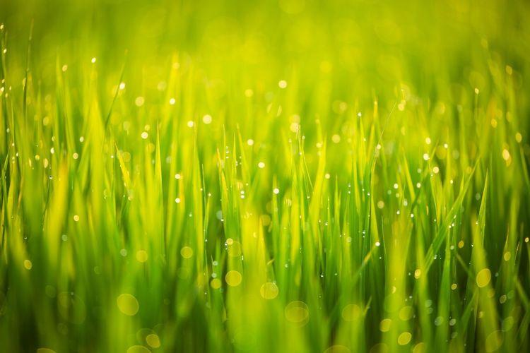朝陽を浴びて光り出す稲穂の夜露 Rice Field Green Color Green Sunrise Early Morning OSAKA Japan Defocused Backgrounds Cereal Plant Full Frame Photography Themes Close-up Grass Green Color