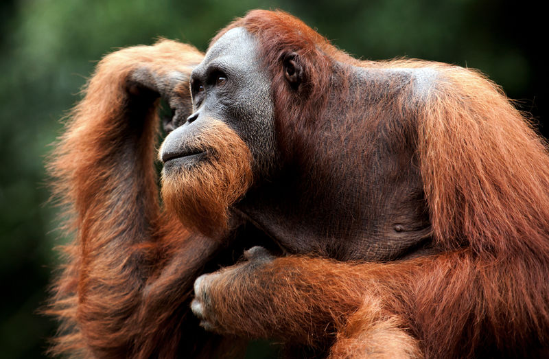 Close up of Orang Utan Animal Themes Animal Wildlife Animals In The Wild Close-up Nature No People One Animal Orangutan Outdoors Personality  Primate Thinking
