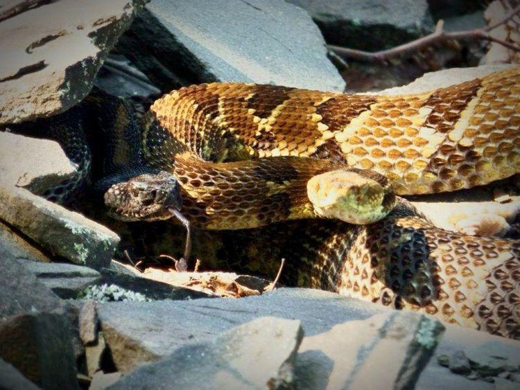Rattlesnake Snake Rocks Summer2014 SlateRun Pennsylvania Wildlife Hiking Color Photography Nature Outdoors