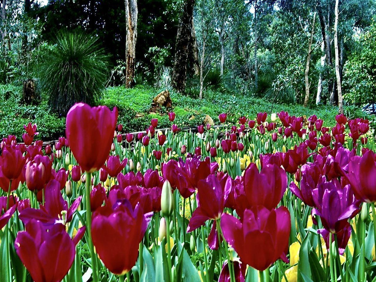 CLOSE-UP OF TULIP FLOWERS IN PARK