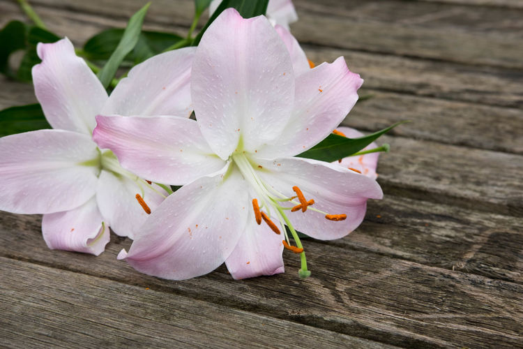Beauty In Nature Blooming Close-up Day Flower Flower Head Flowers Fragility Freshness Growth Lilies Lilies In Bloom Lily Lily Flower Natural Nature No People Orange Outdoors Petal Pink Pink Color Pretty Stamens Stems