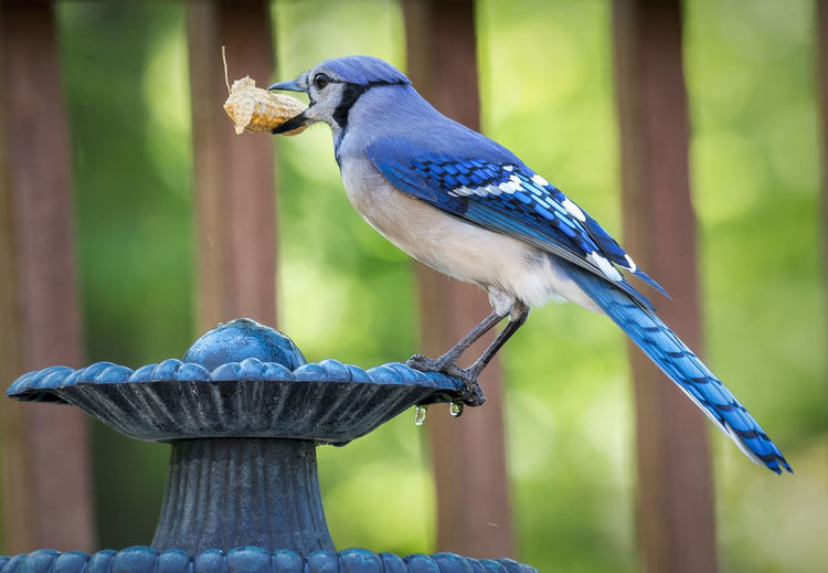 Side View Of Bird With Peanut On Fountain