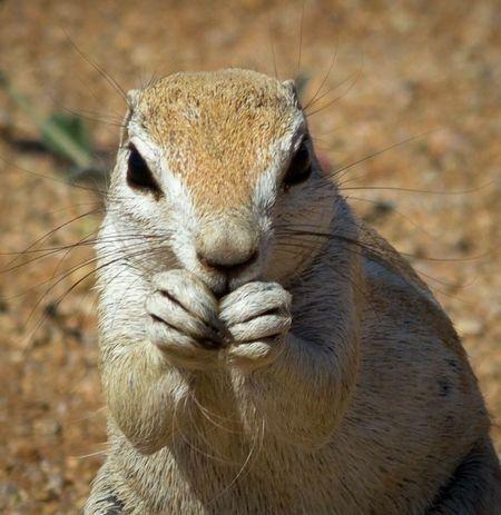 Squirrel Namibia Namib Naukluft National Park Wildlife & Nature Wildlife Photography