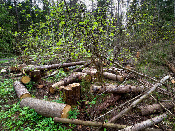 Russia, Moscow, storm, fallen trees Russia Storm Branch Day Deforestation Field Firewood Forest Green Color Growth Land Log Lumber Industry Nature No People Outdoors Plant Timber Tranquility Tree Wood Wood - Material WoodLand