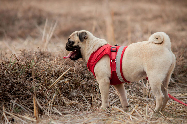 Pets Domestic Domestic Animals Mammal Animal Themes One Animal Dog Canine Animal Collar Pet Collar Vertebrate Land Looking Away No People Looking Red Nature Facial Expression Leash Small Mouth Open