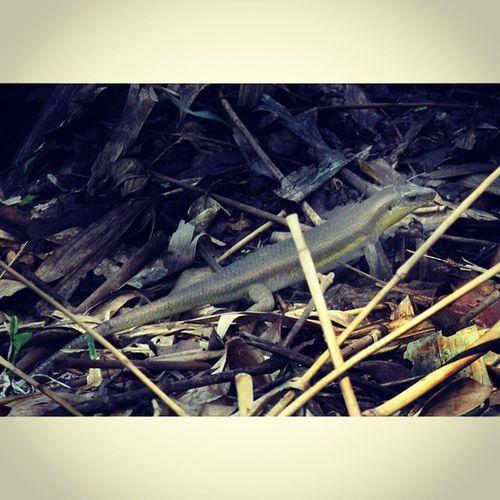 Cari mangsa. Kadal Lizzard Reptile Ig_reptile