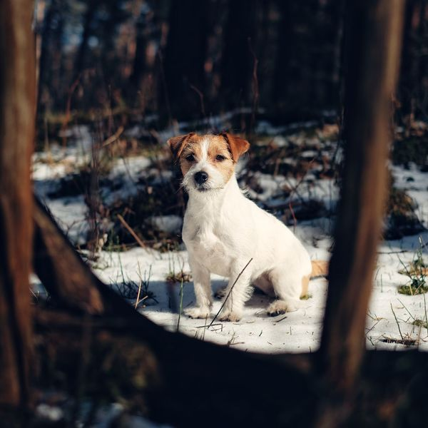 Jack Russell terrier in the woods Jack Russell Terrier Jack Russell Jrt Animal Animal Themes Mammal One Animal Vertebrate No People Pets Domestic Animals Selective Focus Looking Canine Portrait Focus On Foreground Dog Looking Away