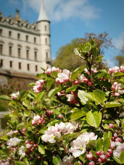 Apple Blossom at Dunrobin Castle Gardens Flower Outdoors Nature Day Tree No People Flower Head Sky Focus On Foreground Architecture Building Exterior Historic Building Pink Flower Formal Garden Tree Freshness Growth Plant
