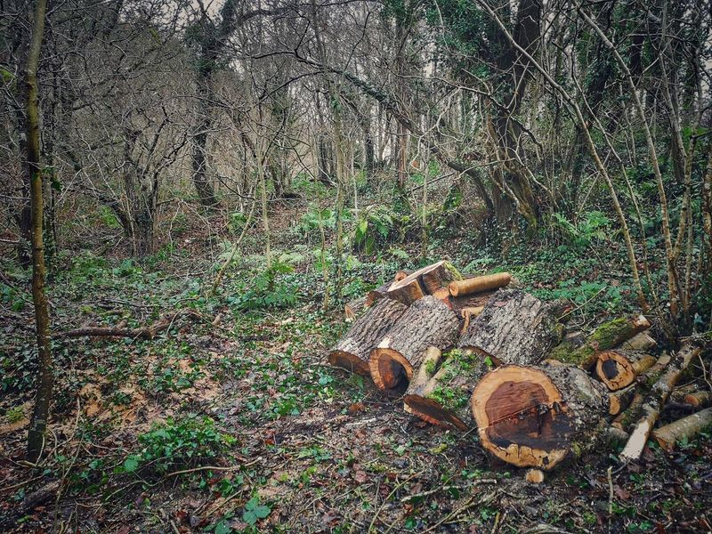 If you go down in the woods today..... Clearing Thinning Forest Photography WoodLand Overgrown Forgotten Places  High Angle View Backgrounds Close-up Green Color Tree Ring Deforestation Forestry Industry Tree Stump Firewood Timber Lumber Industry Pile Woodpile